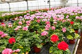 stock photo of horticulture  - Greenhouse with colorful blooming geranium flowers for sale and gardening - JPG
