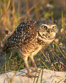 picture of owl eyes  - Florida Burrowing Owl Looking Surprised with Wide Eyes - JPG
