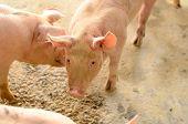 foto of pig  - example of  pig in Thai stlye commercial pig farm  - JPG