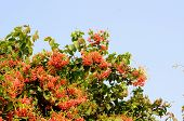 foto of creeper  - beautiful Mexican Creeper flower  - JPG