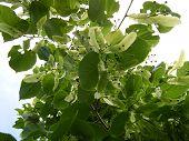 stock photo of linden-tree  -  linden tree - JPG