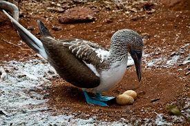 pic of boobies  - Blue footed booby nesting two eggs in the Galapagos Islands, Ecuador ** Note: Shallow depth of field - JPG