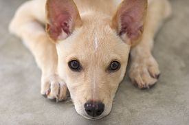 stock photo of puppy eyes  - A cute puppy dog is looking forward with big brown eyes  - JPG