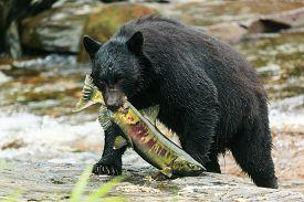 image of omnivore  - The American black bear catching fish, Ketchikan Alaska ** Note: Visible grain at 100%, best at smaller sizes - JPG