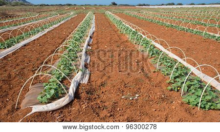 Pumpkin Cultivation Field