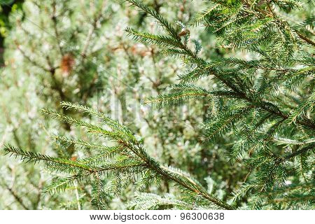 Green Spruce Tree Branches In Forest