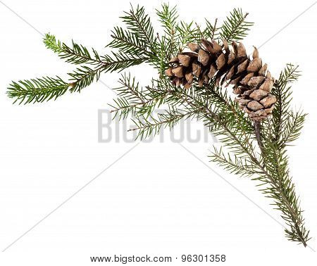 Twig Of Fir Tree With Cone On White