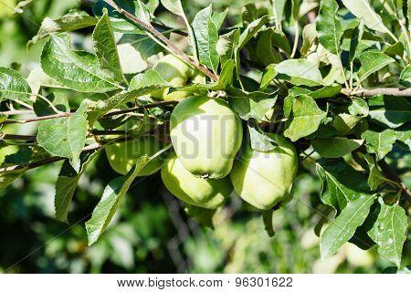 Green Apples On Tree Illuminated By Sunlight