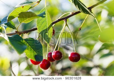 Several Red Cherry Ripe Fruits On Tree Branch
