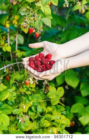 Harvesting - Handful Of Red Raspberries