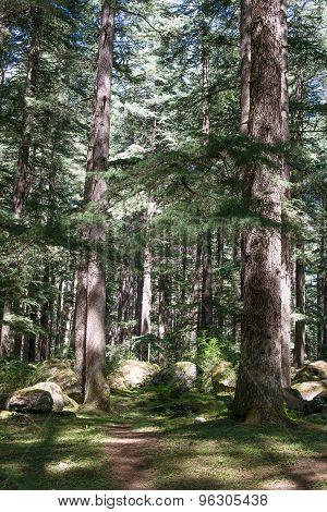 Pine Forest In Manali, Himachal Pradesh, India