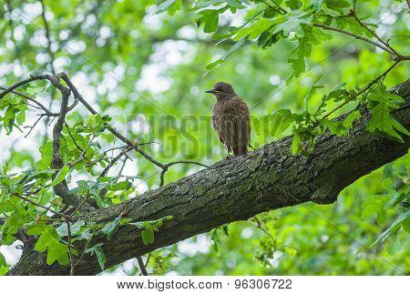 Cuckoo fledgling