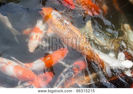 Carp Or Fancy Carp,fish