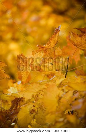 Warm Colors Of Autumn. Yellow Leaves Covering A Tree.