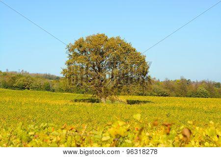 Oak Tree In Vineyard. Autumn