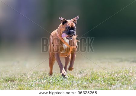German boxer dog running at a park.