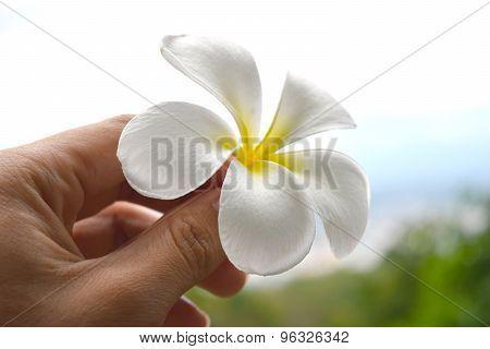 holding Frangipani flowers (white yellow Plumeria flower)