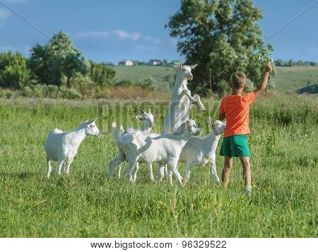 Boy playing with young  goats on  meadow.