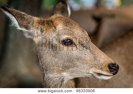 Japanese Sika deer up close