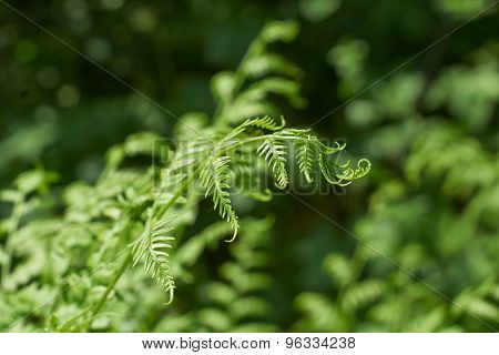 Fresh Fern Shoots In The Spring .
