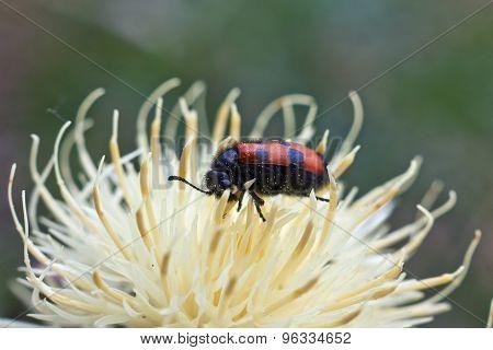 Beetles .