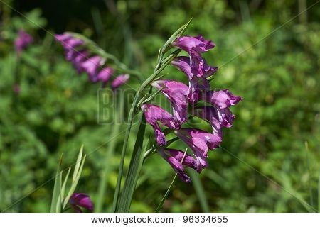 Wild Gladiolus Flowers.