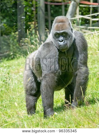 A large Silverback Gorilla against a grass background