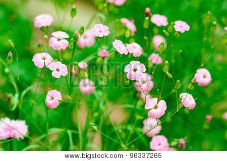 Pink Flax