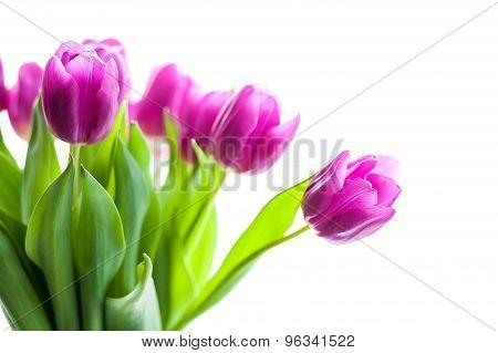Bunch Of Purple Tulips