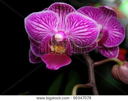 Striped white-purple orchid flower