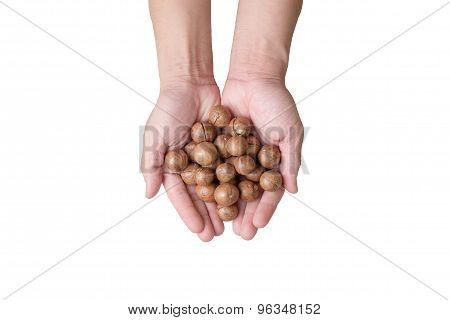 Hands Holding Macadamia Nuts