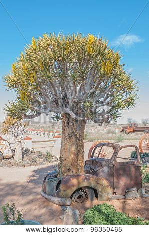Quiver Tree Growing Through The Bonnet Of An Old Car