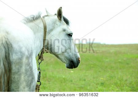 Beautiful white horse grazing on meadow