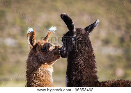 Llamas Of Bolvia In The Altiplano  Of Bolivia