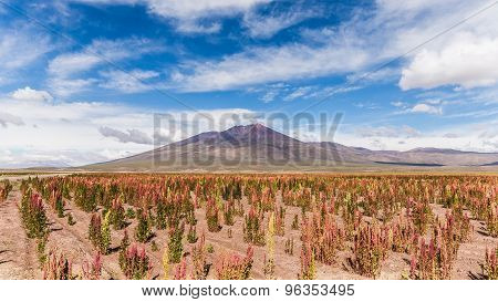 Quinoa Fields In The South American Altiplano In Bolivia