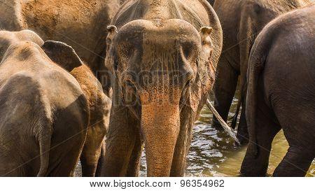 Wild Elephants On A Safari In Central Sri Lanka