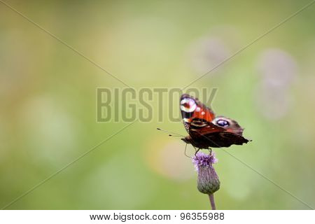 Peacock Butterfly (inachis Io, Aglais Io)