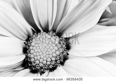 Monochrome Daisy Flower White Carpels Close Up