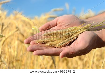 Man Holding Ears Of Wheat
