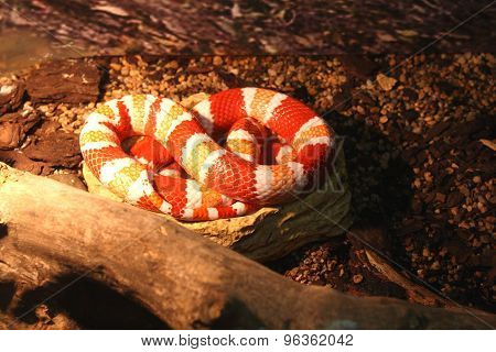 Red and white snake in the reptile show