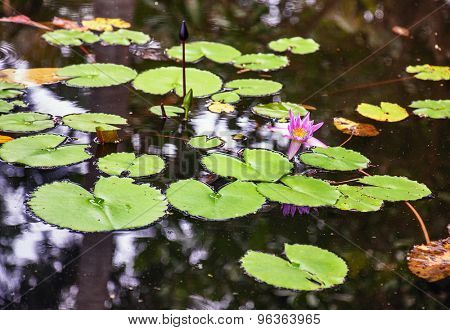 lily flower with leaves at surface of pond. Focus on flower