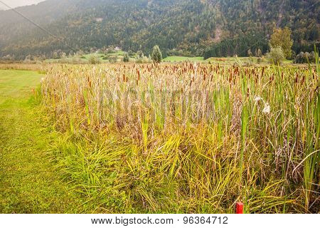 Bullrush Field