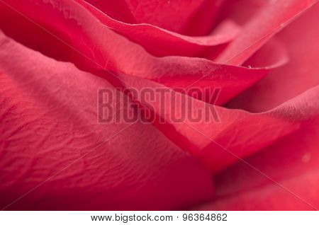 Rose Flower Fragment
