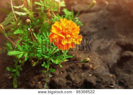 Bright marigold flowers on flowerbed