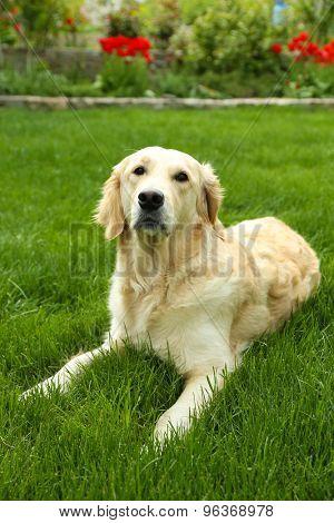 Adorable Labrador sitting on green grass, outdoors