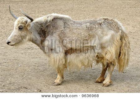 Tibetian Yak