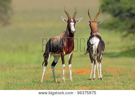 A pair of bontebok antelopes (Damaliscus pygargus dorcas), South Africa
