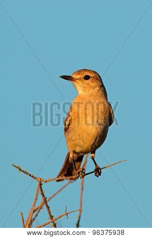 A familiar chat (Cercomela familiaris) sitting on a branch against a blue sky, South Africa