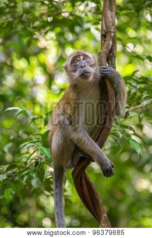 Macaque hanging on a liana in Gunung Leuser National Park, Sumatra, Indonesia