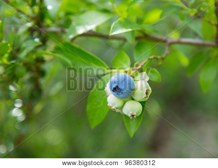 Blueberries on branch, close-up.
